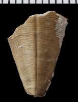 Scyphozoa