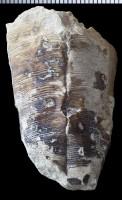 Conularia sp., GIT 575-89