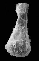 <i>Ramochitina spinipes (Eisenack, 1964)</i><br />Pavilosta 51 borehole, 796.00 m, Gorstian