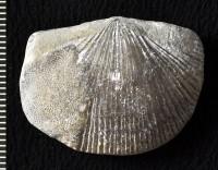 Dolerorthis rustica (J. de C. Sowerby, 1839), GIT 588-106