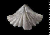 Delthyris (Delthyris) elevata Dalman, 1828, GIT 588-3