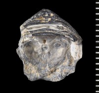 Siphonotreta sp., GIT 588-51