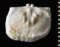 Bekkerina dorsata (Bekker, 1921), GIT 588-71