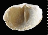 Bekkerina dorsata (Bekker, 1921), GIT 588-73