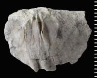 Eoplectodonta (Eoplectodonta) rhombica (McCoy, 1852), GIT 588-77