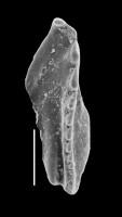 <i>Pteropelta gladiata Eisenack, 1939</i><br />Väike-Pakri Island,  m, Kukruse Stage (GIT 592-37)