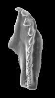 <i>Pteropelta huberti Hints et Eriksson, 2010</i><br />Viru Mine, 12/28, -6.10 m, Uhaku Stage (GIT 592-5)