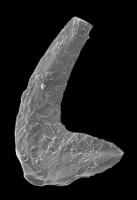 Paroistodus proteus (Lindström, 1955), GIT 594-1