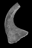 Drepanodus arcuatus Pander, 1856, GIT 594-112