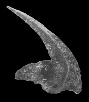 Oistodus lanceolatus Pander, 1856, GIT 594-32