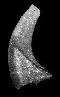 Scalpellodus gracilis (Sergeeva, 1974), GIT 594-45
