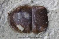 Bradoriamorphes