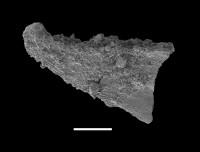 Dapsilodus obliquicostatus (Branson et Mehl, 1933), GIT 598-18