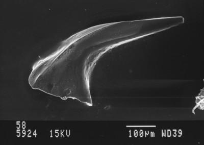Acanthodus uncinatus?, GIT 630-58
