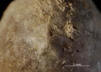 Echinosphaerites globosus Jaekel, 1899, GIT 631-16