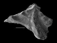 Pygodus cf. lunnensis Zhang, GIT 637-28