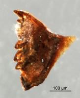 <i>Oenonites sp.</i><br />Qusaiba 1 borehole, 497.80 m, Upper Ordovician (GIT 641-21)