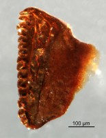 <i>Oenonites sp.</i><br />Qusaiba 1 borehole, 484.70 m, Upper Ordovician (GIT 641-27)