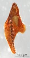 <i>Gen et sp. indet 1</i><br />Qusaiba 1 borehole, 497.80 m, Upper Ordovician (GIT 641-29)