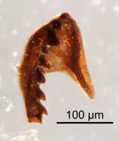 <i>Gen et sp. indet. 1</i><br />Qusaiba 1 borehole, 497.80 m, Upper Ordovician (GIT 641-44)