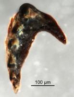 <i>prionognath</i><br />Qusaiba 1 borehole, 497.80 m, Upper Ordovician (GIT 641-76)