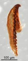 <i>Oenonites sp.</i><br />Qusaiba 1 borehole, 497.80 m, Upper Ordovician (GIT 641-8)