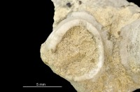 Eleutherozoa