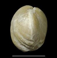 Parastrophina dura (Oraspõld), GIT 678-5