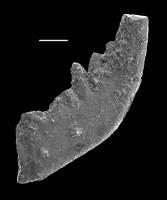 Belodina cf. confluens Sweet, GIT 688-64