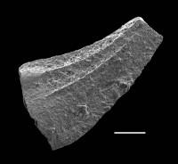 Walliserodus curvatus (Branson & Branson), GIT 688-65