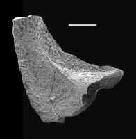 Walliserodus curvatus (Branson & Branson), GIT 688-66