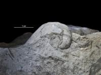 Salpingostoma megalostoma (Eichwald, 1840), GIT 697-108