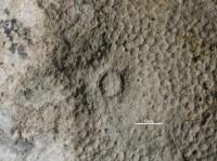 Anoigmaichnus odinsholmensis Vinn, Wilson, Mõtus et Toom, 2014, GIT 697-330-1