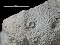 Anoigmaichnus odinsholmensis Vinn, Wilson, Mõtus et Toom, 2014, GIT 697-365-1