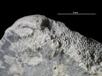 Anoigmaichnus odinsholmensis Vinn, Wilson, Mõtus et Toom, 2014, GIT 697-365-2