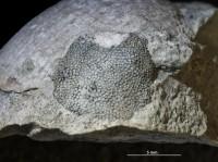Stigmatella sp., GIT 697-367