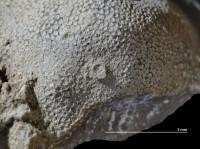 Anoigmaichnus odinsholmensis Vinn, Wilson, Mõtus et Toom, 2014, GIT 697-507-1