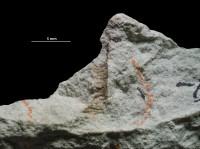 Oikobesalon coricaceum (Phillips, 1848), GIT 697-596-2