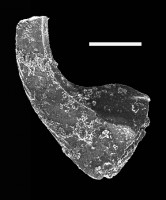 Dapsilodus sp., GIT 702-22