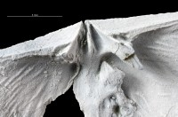 Dolerorthis nadruvensis, GIT 716-231