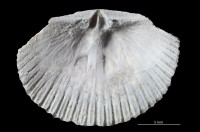 Dolerorthis nadruvensis, GIT 716-232