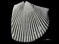 Dolerorthis nadruvensis Paškevicius & Hints, GIT 716-366