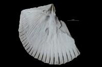 Dolerorthis nadruvensis sp. n., GIT 716-436-1