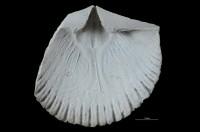 Dolerorthis nadruvensis Paškevicius, GIT 716-436-2