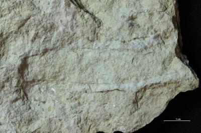 Furculosus isp., GIT 720-790