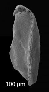 <i>Oenonites sp. 1</i><br />Blankenheimerdorf section, Eifel region,  m, Eifelian