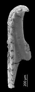 <i>Oenonites sp. 2</i><br />Blankenheimerdorf section, Eifel region,  m, Eifelian