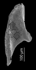 <i>Oenonites sp. 3</i><br />Blankenheimerdorf section, Eifel region,  m, Eifelian
