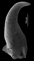 Skalenoprionidae