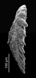 Tetraprionidae